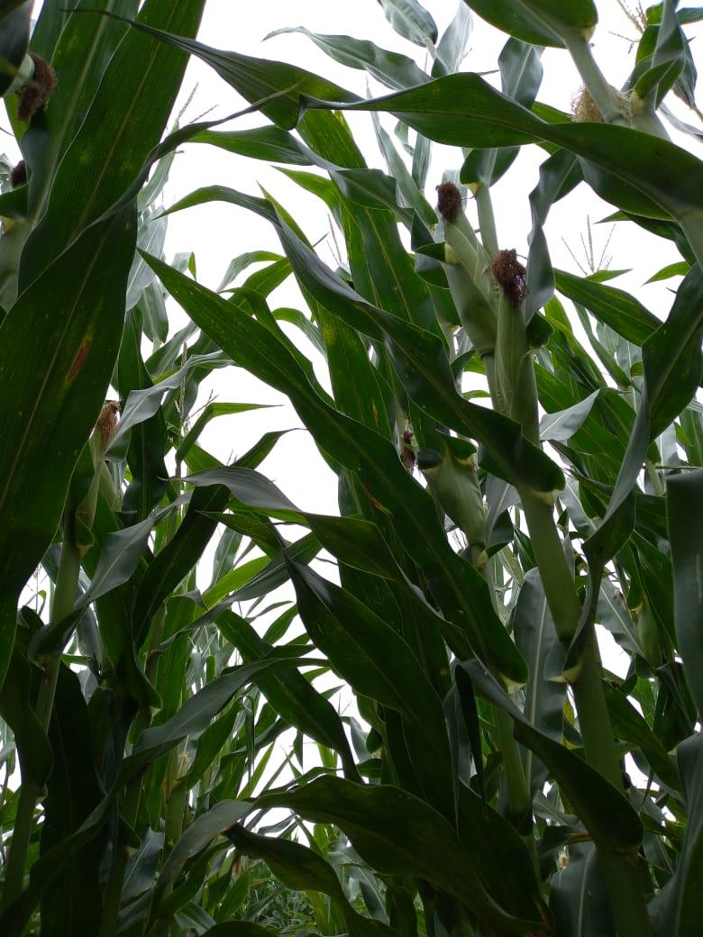 Primeras estimaciones de rindes de maíz en la zona de Río Cuarto. Hay buenas y no tan buenas noticias